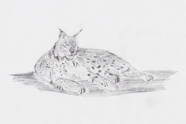 рысь, рисунок карандашом