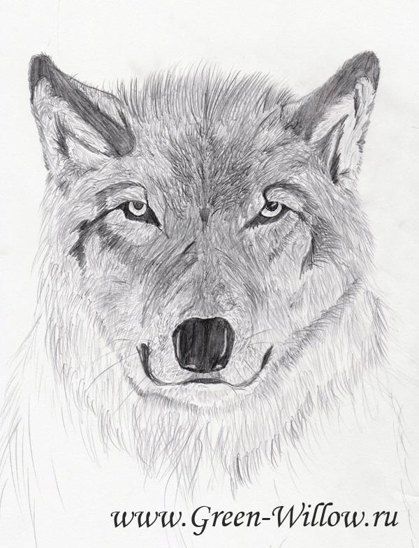 волк нарисованный карандашом